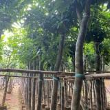 8-15公分芒果树价格 芒果树基地生产