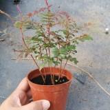 红芽清香木苗价格 云南红芽清香木苗出售