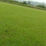 马尼拉草皮的价格 安徽马尼拉草坪批发