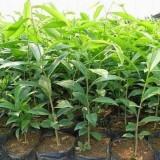 奇楠沉香树苗多少钱一棵 沉香中树和奇楠哪个更值钱?
