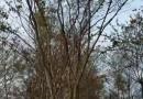 8公分榉树树苗价格 江苏榉树基地