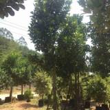 福建菠萝蜜批发价格   菠萝蜜苗木绿化基地
