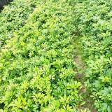 漳州鸭脚木种植批发 行情 鸭脚木小苗价格