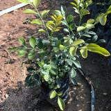 九里香袋苗的价格 九里香种植基地