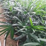棕竹价格 福建棕竹基地供应 棕竹 大叶