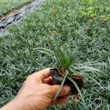 玉龙草多少钱一平方米 批发玉龙草小苗价格