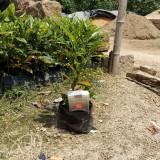 变叶木多少钱一棵   福建变叶木基地批发
