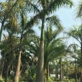 4米高大王椰子出售   大王椰子批发供应