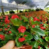 大花海棠绿化苗批发    大花海棠多少钱一棵
