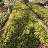 洒金珊瑚种植基地 洒金变叶木价格表