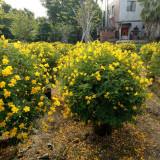 漳州出售双荚槐球 双荚槐种植基地