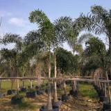狐尾椰子树批发价格  狐尾椰子基地供应