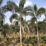 哪里有卖狐尾椰子树    福建狐尾椰子批发基地