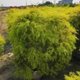 黄金香柳多少钱一棵   绿化苗黄金香柳