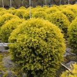黄金宝树基地直销   黄金宝树价格