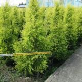 黄金宝树多少钱一棵   黄金宝树批发供应