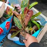25-30公分变叶木工程苗价格  变叶木地被苗批发供应