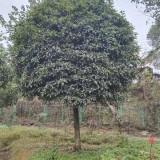 8公分桂花多少钱一棵 湖南桂花树基地