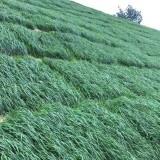 贵州贵阳黑麦草种子多年生护坡草籽高产抗寒牧草种子