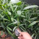 漳州哪里有棕竹苗 大叶棕竹价格