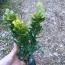 米兰基地批发  30-35公分米兰小苗直销价格