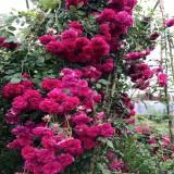 四季蔷薇一棵多少钱