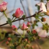 粉色雪柳 粉色喷花雪 粉色雪柳基地直供