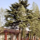 自家工厂松树处理 大松树