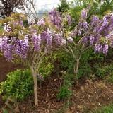 紫藤树一棵多少钱   紫藤树基地批发