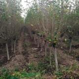 木槿基地直销  木槿批发价格  山东木槿种植基地
