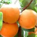 山东杏树苗基地批发  杏树苗多少钱一棵