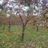 山东柿树基地 1公分柿子树苗价格