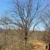 30公分黄连木树价格 黄连木树苗批发报价