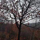 蒙古栎批发 蒙古栎直销 蒙古栎种植