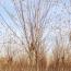 刺槐基地批发价格  优质刺槐苗供应