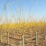 10公分金枝槐价格  绿化工程用金枝槐树苗