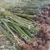 2公分竹子多少钱一棵  竹子基地批发