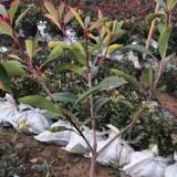 红叶石楠大杯苗直销  红叶石楠批发价格  红叶石楠种植