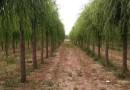 米径10公分垂柳价格 江苏垂柳树产地直销