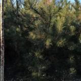 3米油松多少钱一棵 油松价格