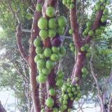 树葡萄基地批发  福建树葡萄价格