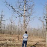大规格银杏树 18公分20公分银杏树价格