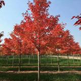 红枫小苗价格  红枫基地批发  红枫种植前景
