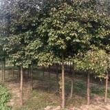8公分红叶石楠树价格 8公分红叶石楠小苗批发