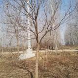 12公分乌桕多少钱一棵 12公分乌桕树价格