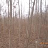 火炬树价格 哪里有火炬树 火炬树多少钱一棵
