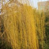 金丝柳树苗哪里有卖 金丝柳树价格