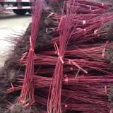 江苏红瑞木 1米红瑞木价格