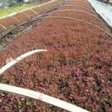 红叶小檗苗 基地批发 15公分红叶小檗价格