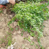 1米连翘苗价格 连翘种植基地